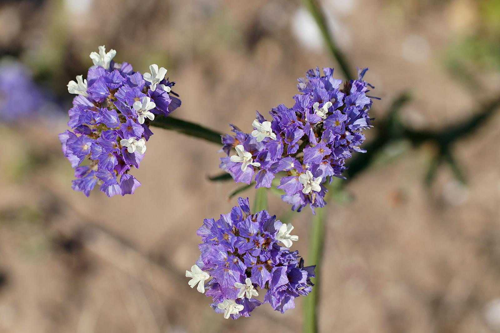 Winged sea lavender
