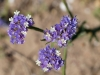 Winged sea lavender