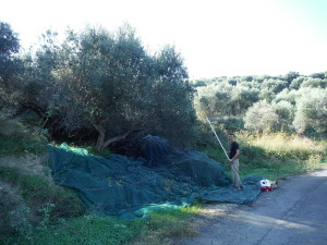 Picking olives near Kissamos
